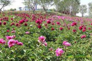 藏马山芍药园